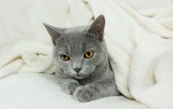 Blue British cat Stock Photography