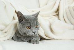 Blue British cat Stock Images