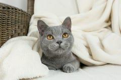 Blue British cat Royalty Free Stock Image