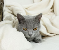 Blue British cat Royalty Free Stock Images