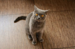 Blue British cat Royalty Free Stock Photo