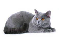 Blue british cat on a white background. Royalty Free Stock Image