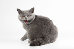 Blue british female cat. On white background royalty free stock images