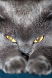 Blue British Shorthair Cat Stock Photos