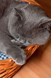 Blue British Shorthair Cat Royalty Free Stock Image