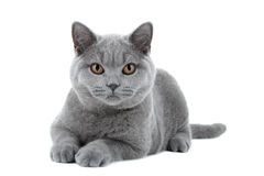 Blue British Shorthair cat. On white background Stock Photo