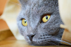 Blue British shorthair cat Royalty Free Stock Images