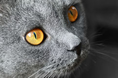 Blue British shorthair cat Royalty Free Stock Photography