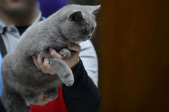 Blue British Shorthair cat Stock Images