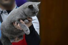 Blue British Shorthair cat Stock Images