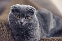 Blue british shorthair cat posing. Blue scotish fold cat posing on camera Royalty Free Stock Images
