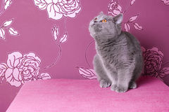 Blue british shorthair kitten Royalty Free Stock Photos