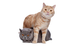 Blue British Shorthair and a red maine coon cat Royalty Free Stock Image