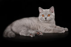 Blue british kitten. Portrait of blue british shorthair kitten Royalty Free Stock Image