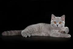 Blue british kitten. Portrait of blue british shorthair kitten Royalty Free Stock Photography
