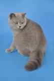 Blue brittish kitten. Portrait of blue british shorthair kitten Stock Image