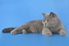 Blue brittish kitten. Portrait of blue british shorthair kitten Stock Photography
