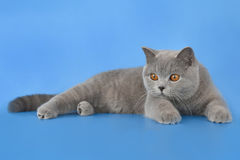 Blue brittish kitten. Portrait of blue british shorthair kitten Stock Images