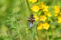 Broad bodied chaser dragonfly, male, blue. Blue, broad bodied male chaser dragonfly on a grass stem. Background of yellow Lysimachia flowers Royalty Free Stock Image