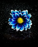 Blue and Brooding Flower on Water Drops Stock Photography