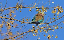 Blue and Brown Bird on Brown Tree Branch Under Blue Sky Royalty Free Stock Photography