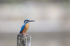 Blue and Brown Bird on Gray Wooden Pole Royalty Free Stock Photography