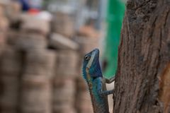 Blue and brown Chameleon. Breed of asia Stock Photo