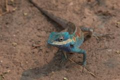 Blue and brown Chameleon. Breed of asia Royalty Free Stock Image