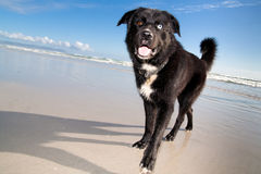 A blue and brown eyed dog. Looking happy on the beach Royalty Free Stock Images