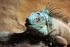 Blue Brown Iguana Royalty Free Stock Images