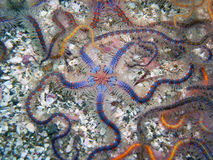 Blue and brown Spiny Brittle Star. S found off of central California's Channel Islands Stock Photography