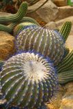 Blue buble cactus in the desert garden of nongnuch park, Pattaya, Thailand Royalty Free Stock Image
