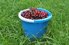 Blue bucket with cherry Stock Photography