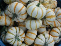 Blue bucket filled with orange-striped white pumpkins stock image