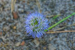 Blue bud of a wild flower in nature. Small blue bud of a wild flower in nature royalty free stock image