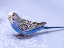 Blue budgerigar Stock Photo