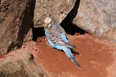 Blue budgerigar Royalty Free Stock Photos