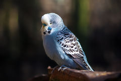 Blue Budgerigar Royalty Free Stock Image