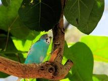 Blue budgerigar bird Stock Image