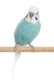 Blue budgerigar on a branch Royalty Free Stock Photos