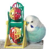 Blue budgerigar on a cage Royalty Free Stock Photography
