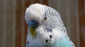 Blue budgerigar in a cage close up Royalty Free Stock Images