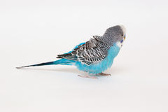 Blue budgerigar fluffed feathers Royalty Free Stock Image