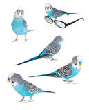 Blue budgerigar isolated Royalty Free Stock Photography