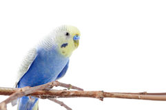 Blue Budgerigar   isolated on white background Royalty Free Stock Image