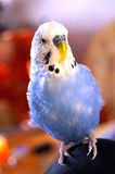 Blue Budgerigar on Knee Stock Images