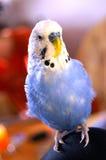 Blue Budgerigar on Knee Stock Images