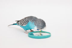 Blue budgerigar looks in mirror Stock Photos