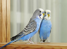 Blue Budgerigar (Melopsittacus undulatus) Royalty Free Stock Images