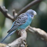 Blue Budgerigar royalty free stock photography
